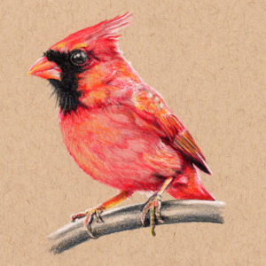 """Male Cardinal"" - Daily Drawing #296"