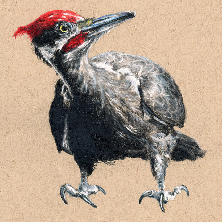 Pileated Woodpecker Drawing Pileated Woodpecker �...