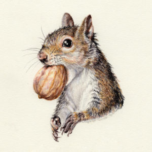 """Gray Squirrel"" - Daily Drawing #314"